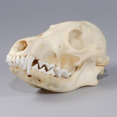 Coyote Skull.  For the specimen shelf.  Reasonably priced, from The Evolution Store.