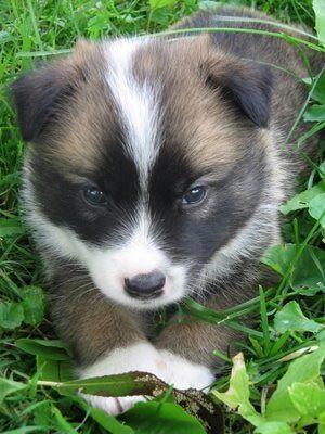 icelandic sheepdog baby