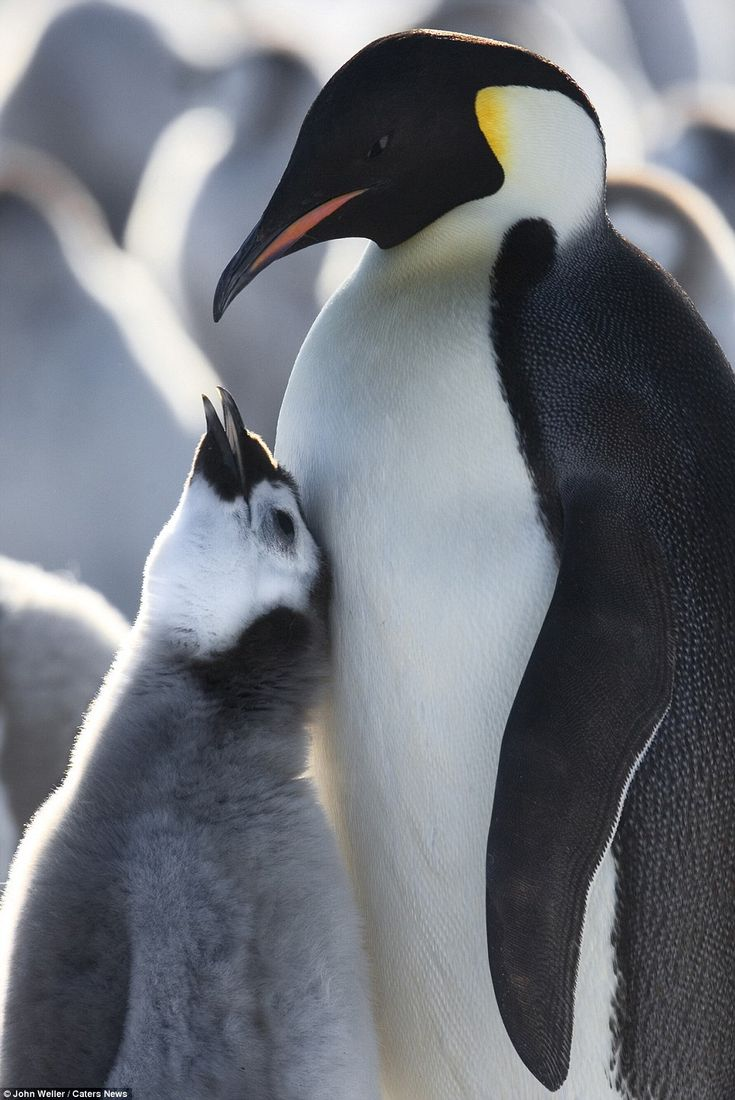 Baby emperor penguin stays with its parents at the polar house of - 154 Best Emperor Penguin Images On Pinterest Emperor Penguins King Penguin And Animals