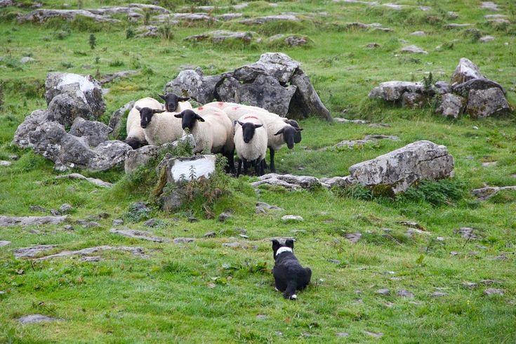 http://owczyswiat.pl/wypas-owiec-jozefow/ #wypasowiecJózefów Wypas owiec Józefów to jedna z sensacji krainy. Dla owiedzających z aglomeraci podziwianie zwierząt to ciekawe doświadczenie. Wypas owiec Józefów ma również wiele zalet dla przyrody. górskie powietrze ma rewelacyjny wpływ na wydajność zwierzaków, które stają się wytrzymalnsze na wiele dolegliwości. Zyskuje także rolnik, ponieważ zwierzęta stają się również bardziej skuteczne.