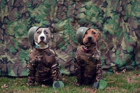 apbt:  Camo is for soldiers only! #pitbulls #dog breeds #canine pet #dogs #pitbull puppy #pitbull dog #pitbull breeds #red nose pitbull #pitbull terrier #apbt #staffordshire terrier #amstaff #english terrier #black pitbull #moo moo pit #chocolate pitbull #pitbull poodle #blue nosed pit #pitbull mutt #mans best friend #4 month old pitbull