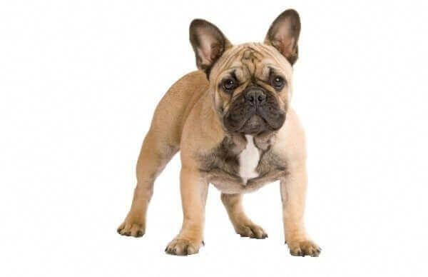 French Bulldog Fawn Frenchbulldogfullgrown French Bulldog