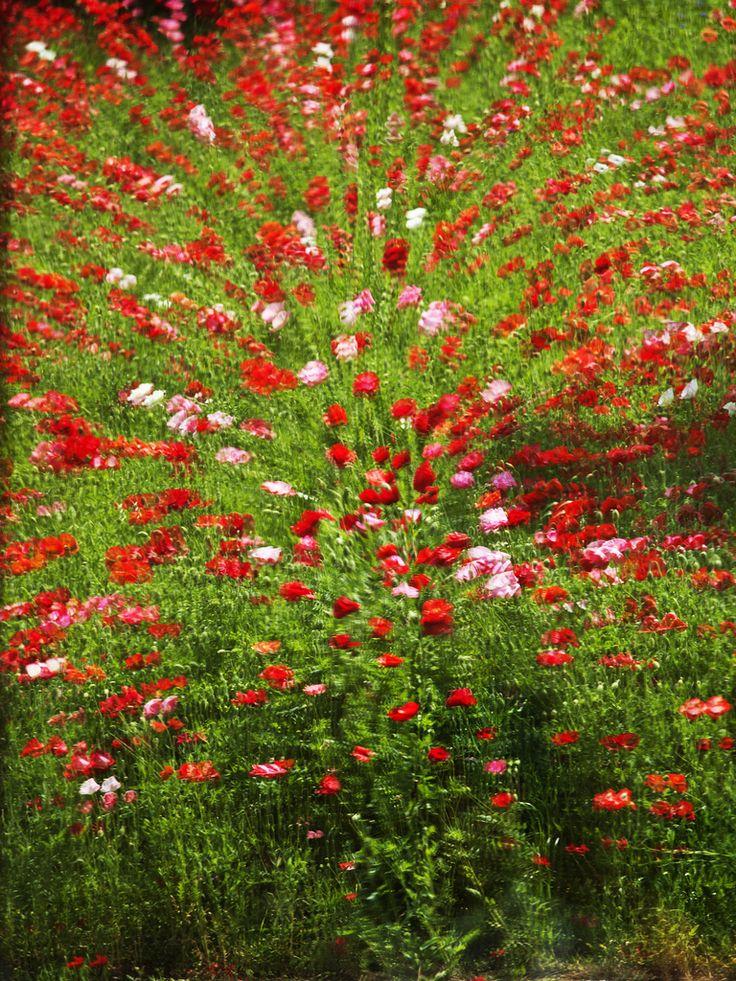 poppy illusion   これは窓に反射したポピーの丘です。特殊なガラスなのか、二重になっているのか分かりません…   Flickr