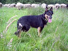 """Old German Shepherd Dog, landrace: east german Gelbbacke Other names Altdeutsche Hütehunde; Origin:Germany.  In 1899 a new formal breed was established by the Society for the German Shepherd Dog. This was selected from amongst the working shepherd dogs,and became the modern German Shepherd Dog breed.Other old landraces of cattle dogs, which are not ancestors of the modern German Shepherd ( """"zott""""-coated dogs, cow dogs), were also given the generic name, Altdeutsche Hütehunde."""