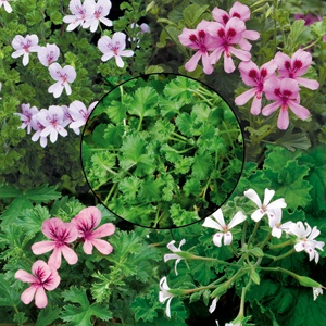 Fruit-Scented Geranium Collection. Love the scented geraniums.