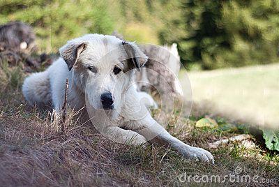 Sheperd dog posing as confused