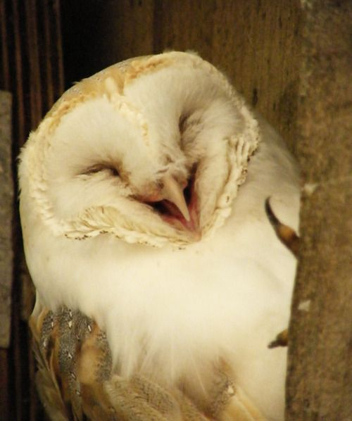 Laughing owl thinks you're funny.