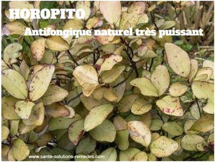 Horopito, Antifongique Puissant | sante-solutions-remedes
