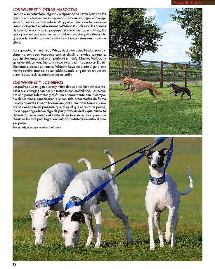 La Raza de Perro de nuestra última edición es: Whippet   Artículo patrocinado por alimento Mira de Bayer.  Parte No. 4  #PetsWorldMagazine #RevistaDeMascotas #Panama #Mascotas #RazaDePerros #Whippet #WhippetPanama #MascotasPanama #MascotasPty #PetsMagazine #MascotasAdorables #Perros #PerrosPty #PerrosPanama #Pets #PetsLovers #Dogs #DogLovers #DogOfTheDay #PicOfTheDay #Cute #SuperTiernos