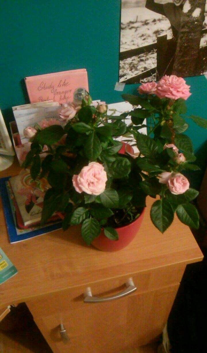 Josefína - růže