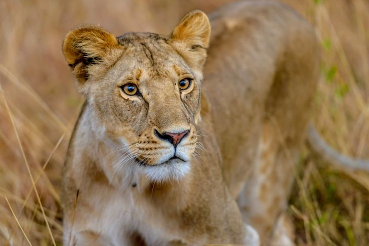 Lionesses Tikky's daughter by Sunil Singh https://500px.com/photo/211856603/lionesses-tikky-s-daughter-by-sunil-singh?ctx_page=2&from=popular
