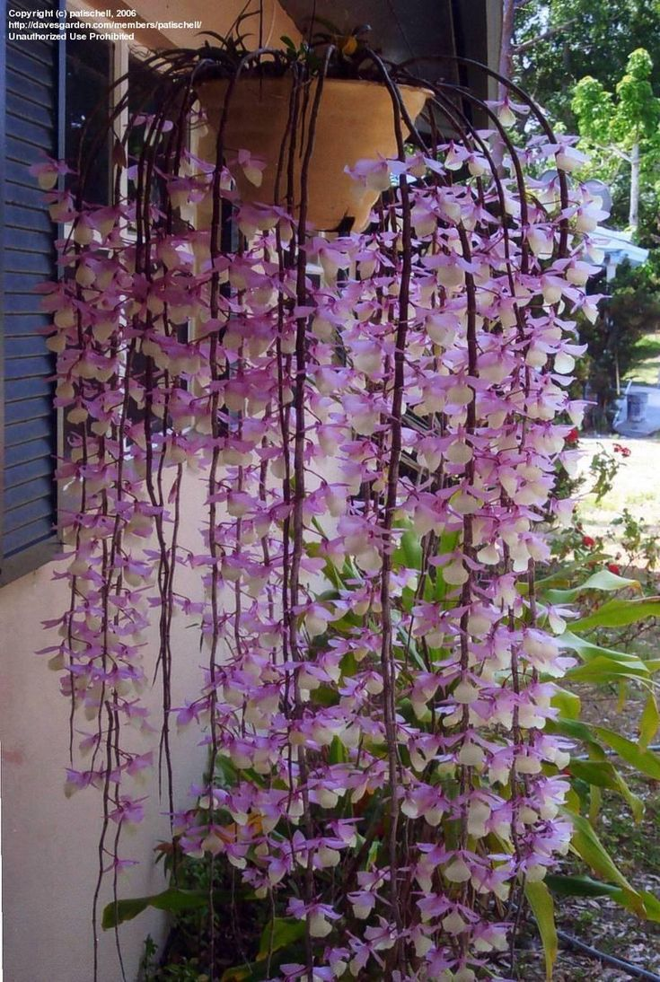 The Dazzling World of Dendrobiums--the pendant deciduous types   Orchids belong to the largest group of plants on Earth, certainly the most ...