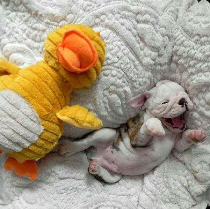 A cute and sleepy little puppy and its toy.