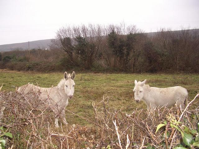 Ballyvaughn, ponies by eggyolk, via Flickr