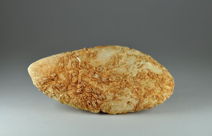 Prehistoric man, seeds around stone, 5th-4th millenium B.C. Prehistoric man, prehistoric people, mineralization of seeds around a stone, 11,8 cm long. Private collection