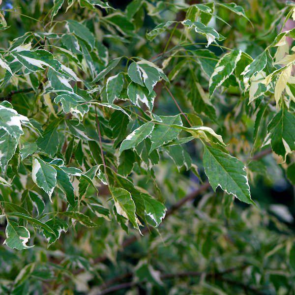 Acer negundo 'Variegatum' - Ashleaf maple - Tree Shrub - Majestic Trees