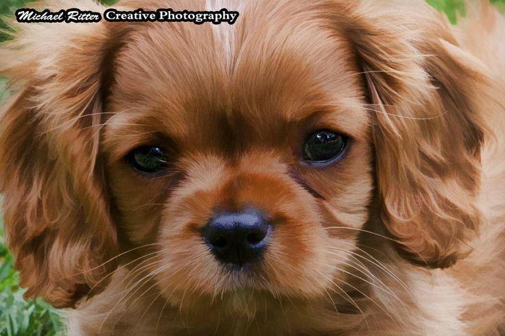 A beautiful King Charles Cavalier Spaniel name Chloe - 9 weeks old