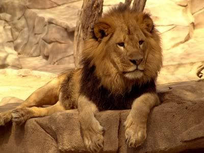 Male African Lion.