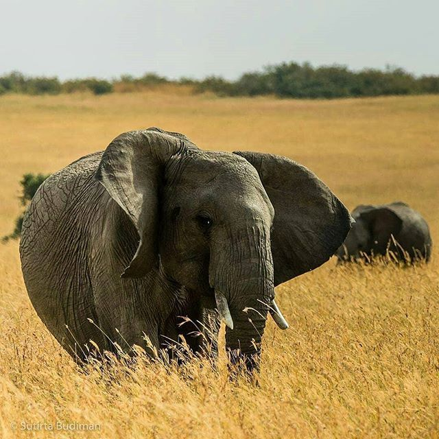 It knows that is charming..!! @iloveelephant262 - from @sbudiman Elephants at Maasai Mara National Reserve in Kenya. For info about promoting your elephant art or crafts send me a direct message @elephant.gifts or emailelephantgifts@outlook.com . Follow @elephant.gifts for inspiring elephant images and videos every day! . . #elephant #elephants #elephantlove