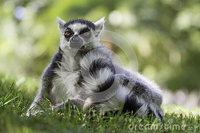 Are Ring Tailed Lemurs - Download From Over 35 Million High Quality Stock Photos, Images, Vectors. Sign up for FREE today. Image: 33886167