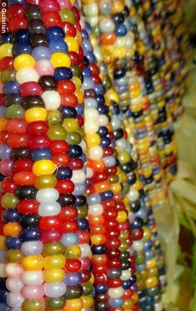 #Native American farmer grows amazing #multicolored #corn.