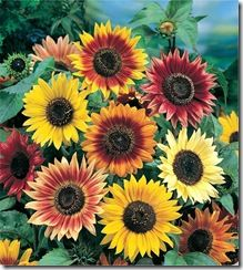 Sunflower_Autumn_Beauty