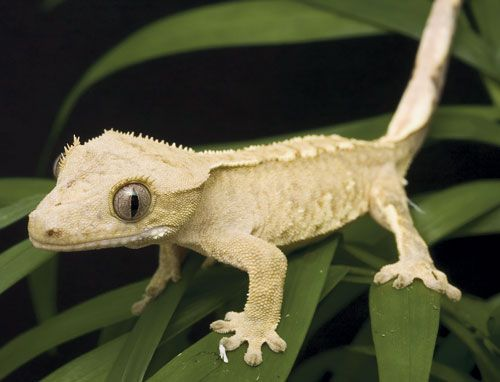 gecko lizard | Reptiles: Keeping and Breeding Crested Gecko Lizards