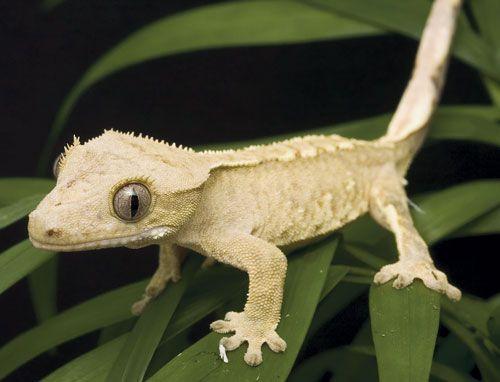 gecko lizard | Reptiles: Keeping and Breeding Crested Gecko Lizards