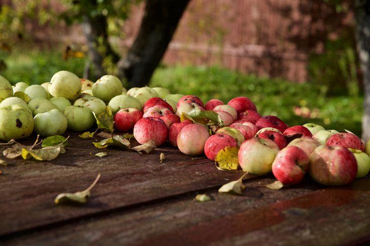 Яблоки в саду. PH:Irina Maysova/Ирина Майсова/
