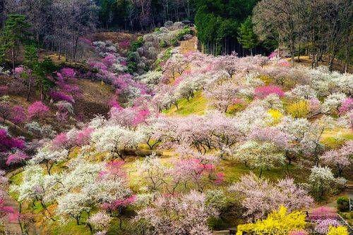 Lo splendido sakura, il fiore del ciliegio, è uno dei simboli più importanti della cultura giapponese. La sua fioritura viene celebrata da oltre un millennio: ogni anno, in questo periodo, milioni di giapponesi si riuniscono per per ammirare i meravigliosi fiori rosa. È il momento dell'Hanami, la festa che occupa buona parte della primavera, che va da inizio aprile fino a metà maggio