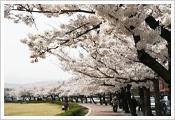 Jeju Cherry Blossom Festival     Dates: April 6 – April 8, 2012   Venue: Jeju-do Jeju-si Jeju Citizen Welfare Town area