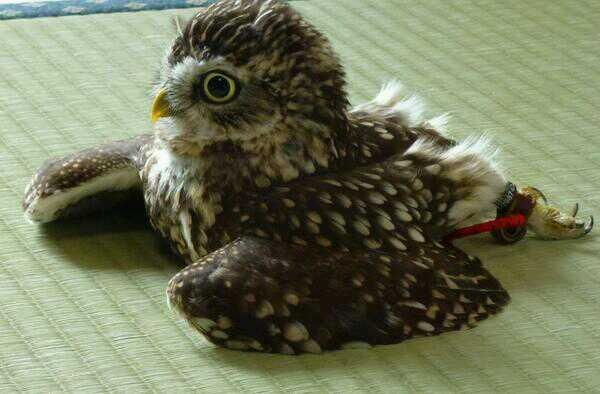 畳で寛ぐフクロウ The owl which relaxes on a tatami. pic.twitter.com/lIaiImZDuq