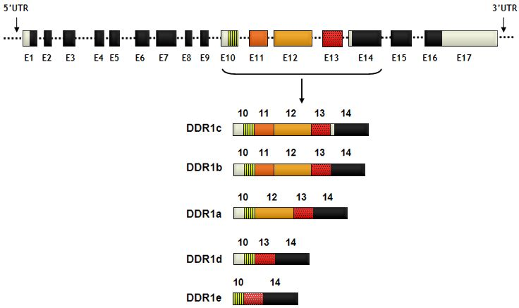DDR1 (discoidin domain receptor tyrosine kinase 1)