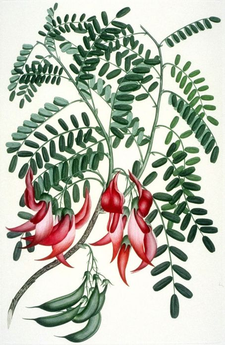 Clianthus, commonly known as Kakabeak (Kowhai ngutukaka in Maori), is a plant genus comprising two species of woody legume shrubs native to New Zealand. Illustration is attributed to Daniel Mackenzie but was likely based on a partially coloured drawing by Banks' botanical artist Sydney Parkinson. Late 18th century