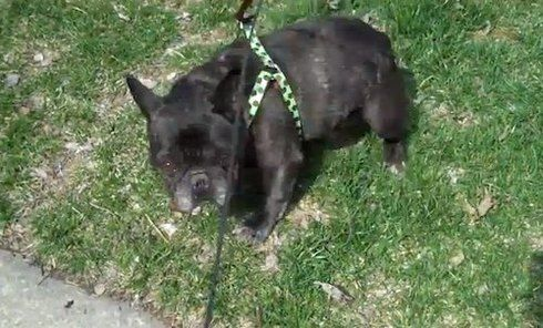 French Bulldog scared by his own farts (VIDEO) » DogHeirs | Where Dogs Are Family « Keywords: French Bulldog, fart, gas, walk
