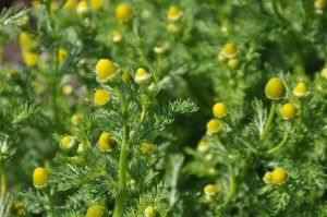 identifying and using wild chamomile (pineapple weed)