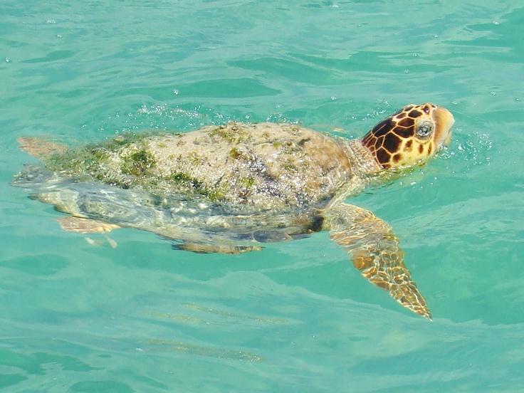 Tortuga, en la Biosfera de Sian Ka'an