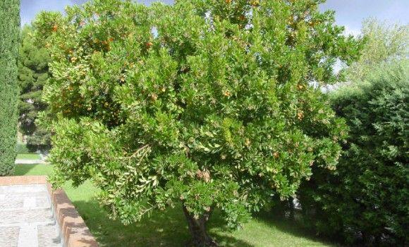 El madroño, Arbutus unedo L., es un arbusto grande, perenne, que puede considerarse muchas veces como árbol pequeño. Tiene de uno a cinco metros de altura (máximo diez), de tronco corto y retorcido, con la corteza agrietada y la copa redondeada y densa.