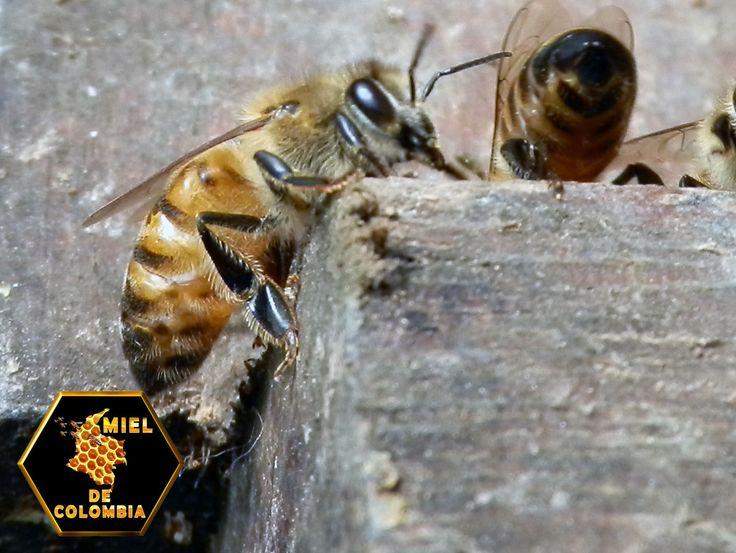La estructura de un ocelo dorsal consta de una lente (córnea) y una capa de células fotoreceptoras (bastones). La lente puede estar fuertemente curvada como en las abejas, saltamontes y libélulas o ser plana como en las cucarachas. La capa de células fotoreceptoras puede estar situada inmediatamente tras la lente o separada de ella por un espacio (humor vítreo). La Presentación de nuestra miel es de medio kilo pedidos: 3012020777 - 3117402833  ventas@mieldecolombia.com www.mieldecolombia.com