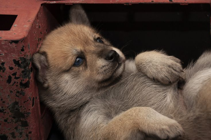 Balu Pomsky Puppies For Sale In Los Angeles California Puppies For Sale Pomsky Puppies Puppies Puppies For Sale