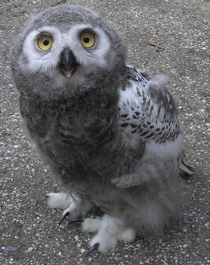 Cute baby white owl - photo#38