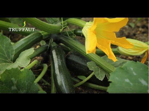 Comment tailler un plant de courgette? / How to cut a zucchini plant? - YouTube