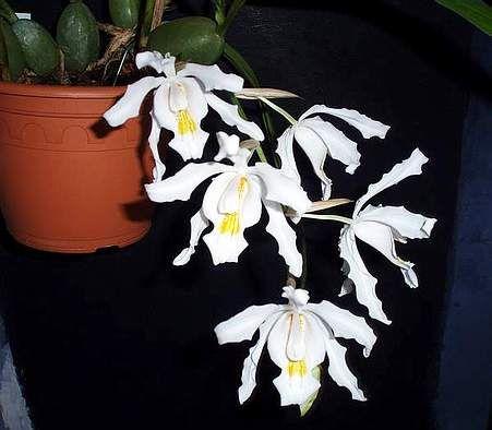 Orkidéer 5