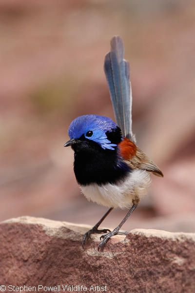 The Variegated Fairywren (Malurus lamberti) is a fairywren that lives in diverse habitats across most of Australia.
