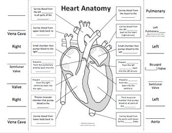 Heart Anatomy & Circulation Foldable | Heart anatomy ...