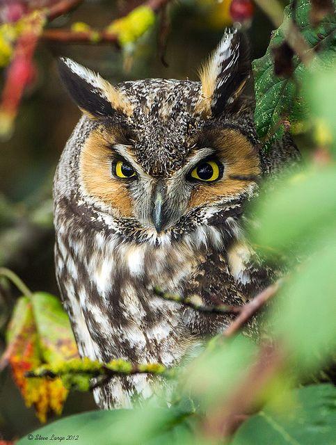 Peaceful Long-eared Owl - Breeds in Asia, Europe, North America - Hibou moyen-Duc