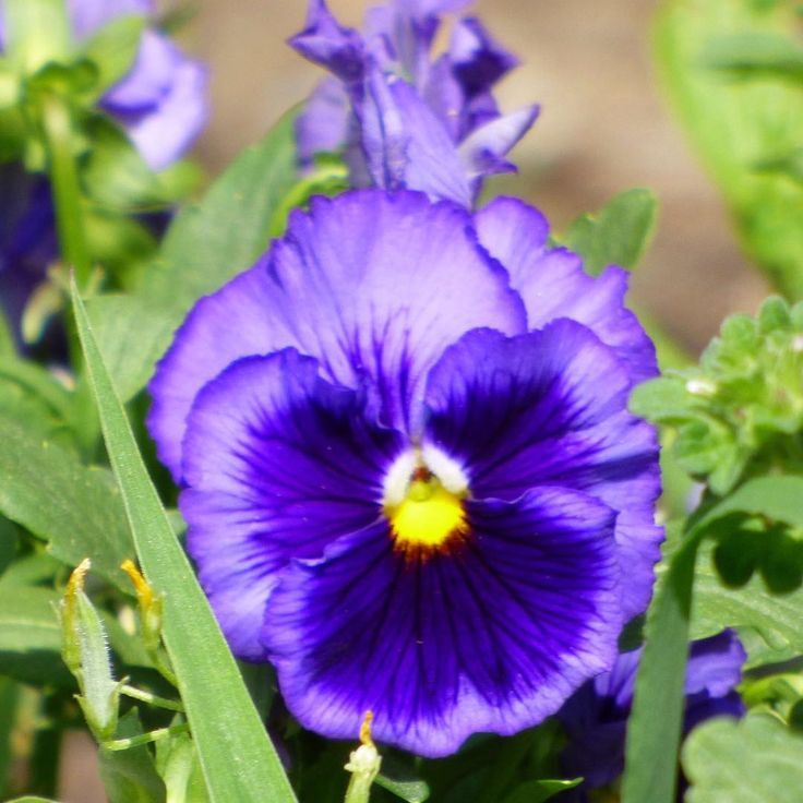 Purple Pansy The Color Purple Is Often Used To Symbolize Remembrance But Did You Know That Pansies Are Too Derived F Purple Garden Pansies Purple Flowers