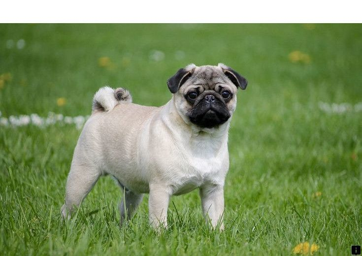 Learn More About Black Pug Puppies For Sale Near Me Please Click