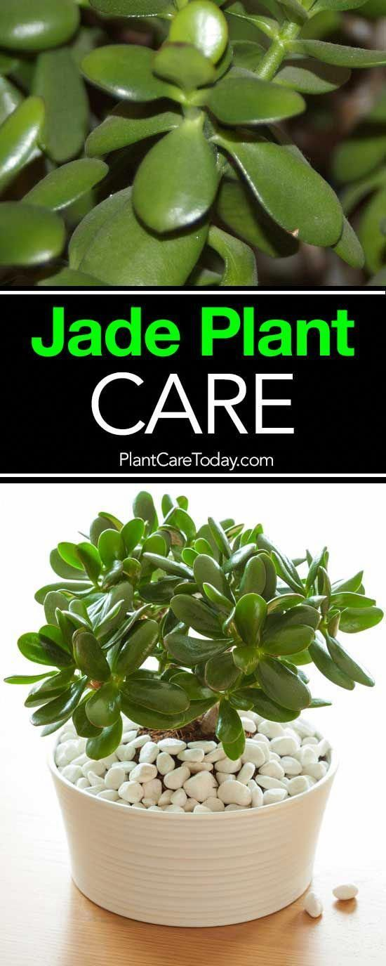 #Care #Grow #Jade #plant #VIDEO       The jade plant, care for these small, stur…