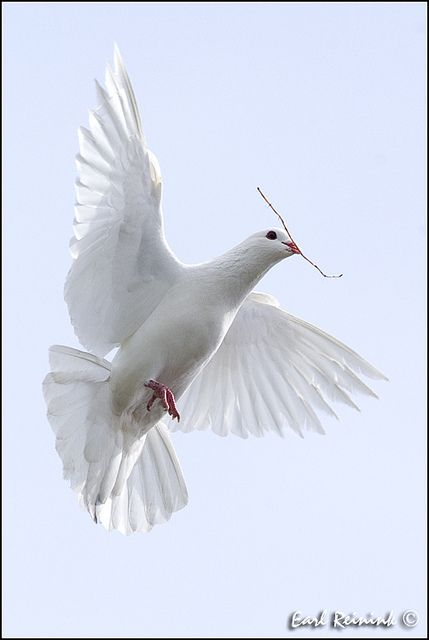 """...Oh that I had wings like a dove! for then would I fly away, and be at rest."" ~ Psalms 55:6"